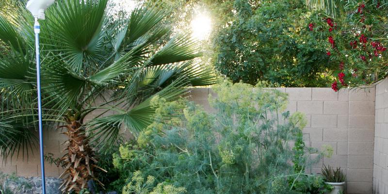 About Sprengeri Ferns